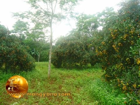 Kebun rambutan mertua di blok Tegalsungsang.