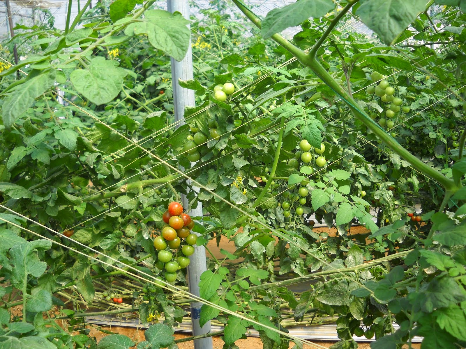 FILED BY GREEN HOUSE CHERE TOMATO