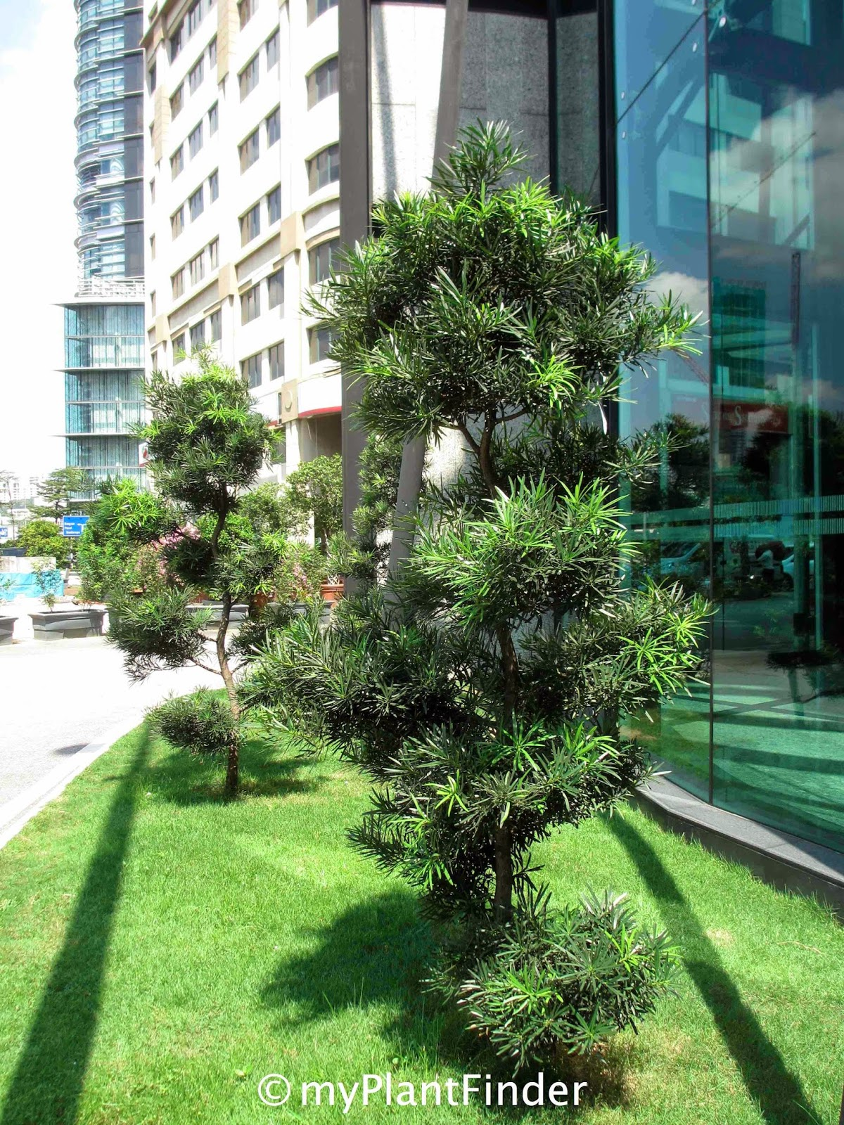 MY PLANT FINDER Plant Guide Podocarpus Macrophyllus
