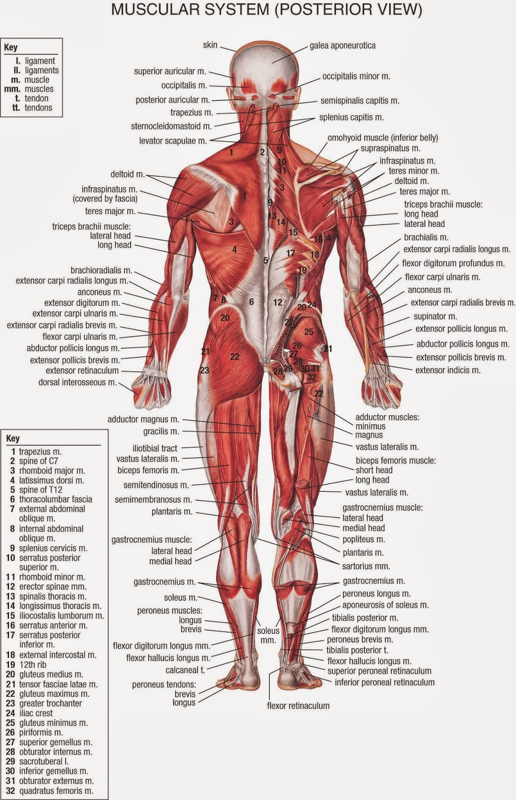 The Most Wonderful Creature: Human Body Anatomy