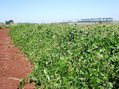 Soja A semente da soja perene é impermeável e precisa ser escarificada antes do plantio