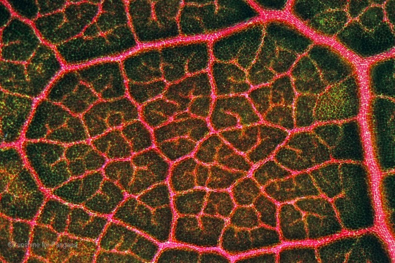 red leaf under the microscope