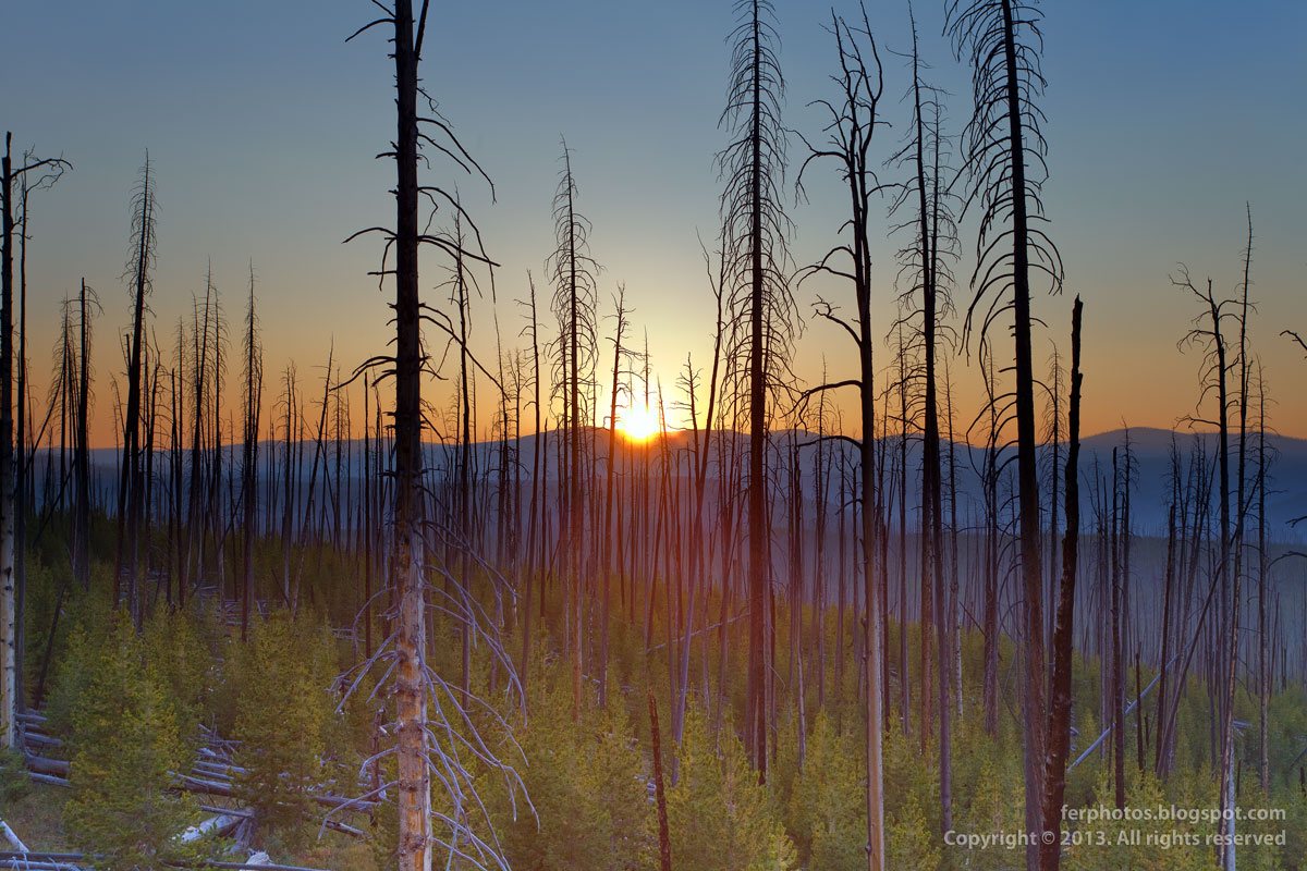 Burnt forest at sunset in Yellowstone National Park