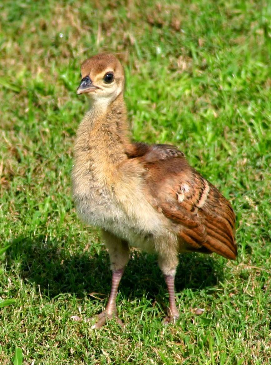 Baby Cute Peacock Pheasant
