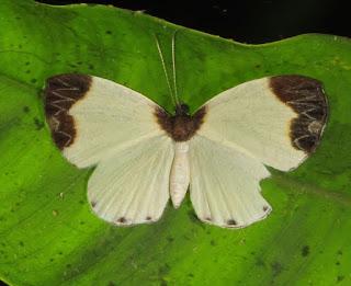 Nymphidium leucosia