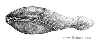 Arandaspis