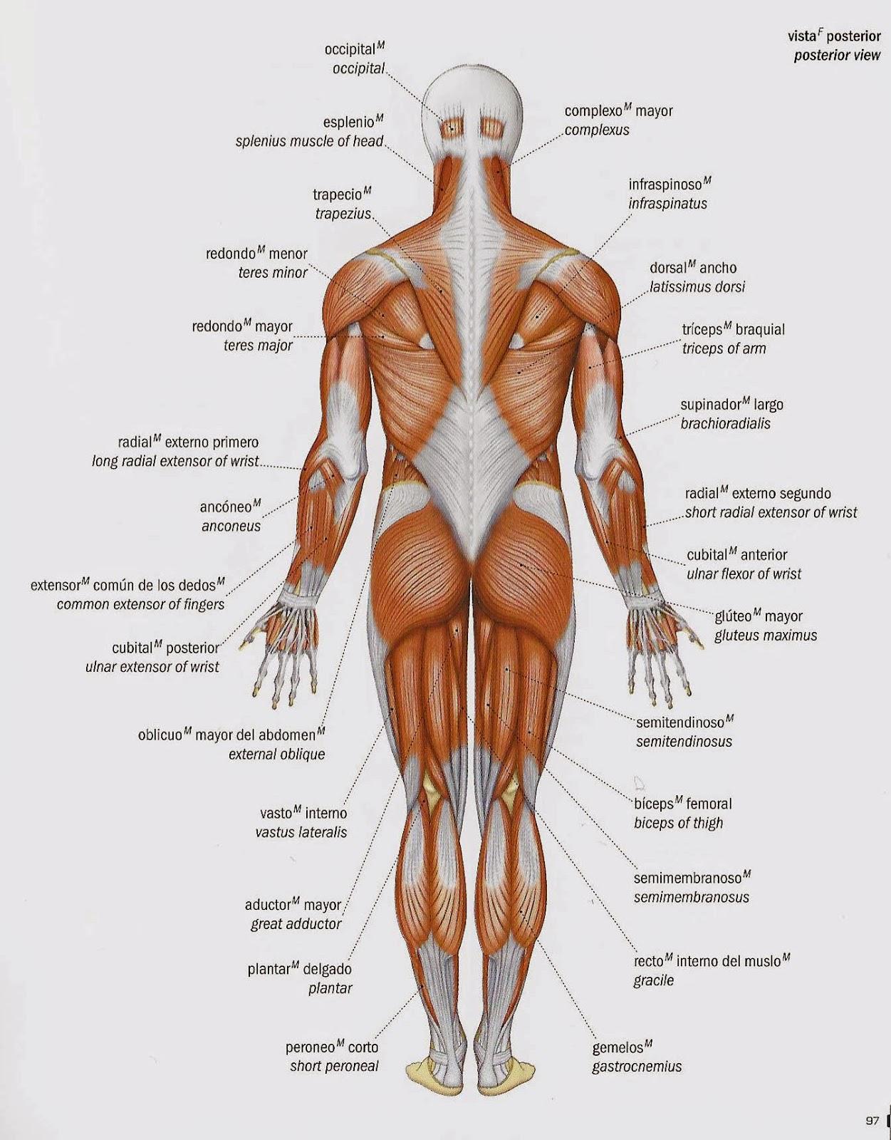 Contemporáneo Músculos De La Espalda Diagrama De La Anatomía ...