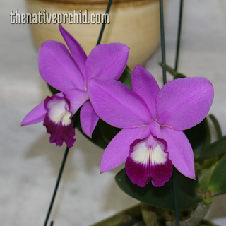 The Native Orchid