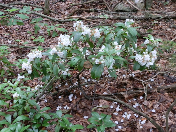 Mountain laurel in bloom