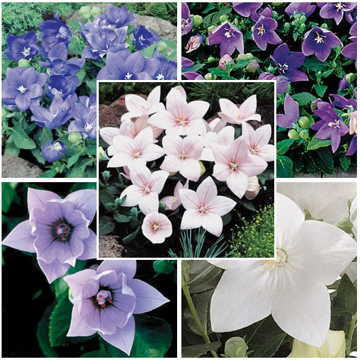 Astra Mix Balloon Flower
