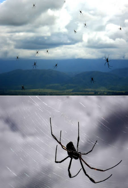 Rain of spiders in Argentina