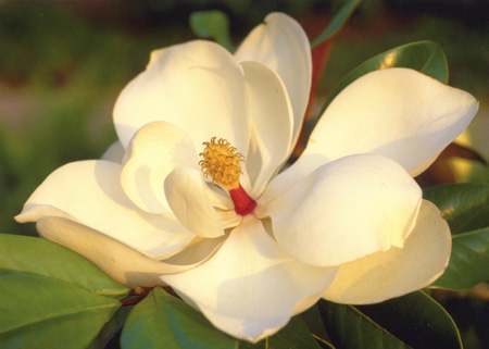 Picture Magnolia Flower on Drug Store Beauty  2012 01 01