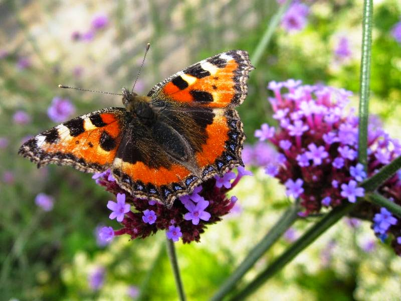 Tortoiseshell butterfly on pink flower head