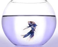 Beta em aquário