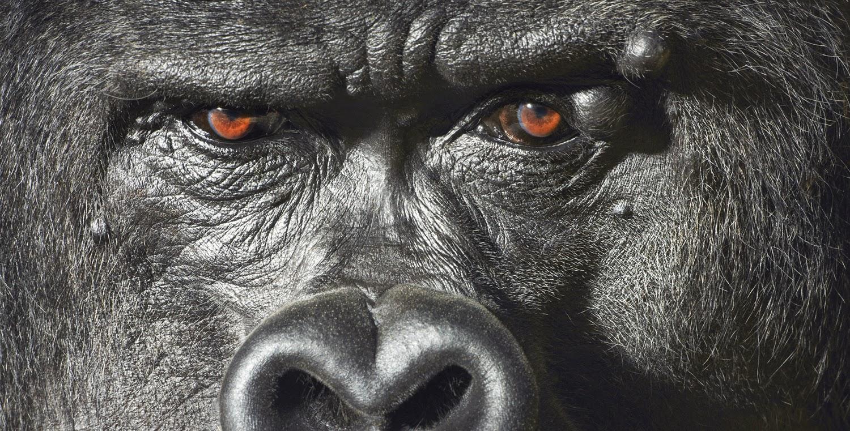 черная обезьяна угрожающе смотрит в глаза, ее взгляд умнее чем человека