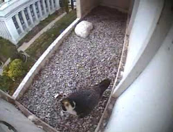 SLC Falcon Cams