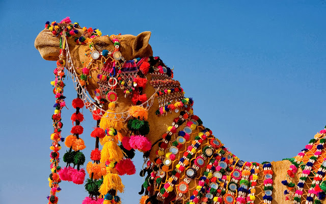 rajasthani camel wallpaper HD