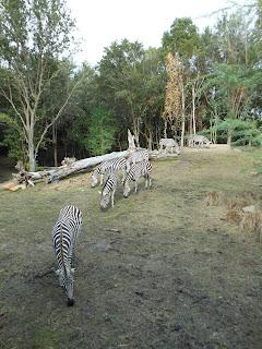 safari ending zebra