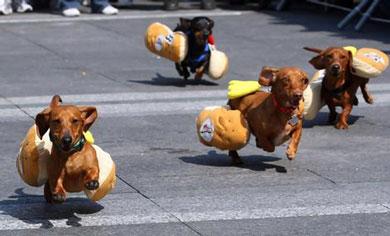 Uma Corrente De Cachorros Salsicha Marcham Neste Exato Momento Em