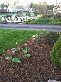 Tulips are coming!