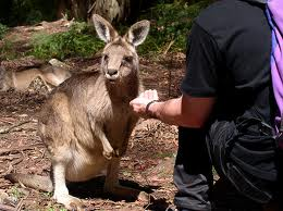 Wallaby as a Pet