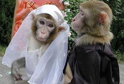 Foto de monos novios listos para casarse