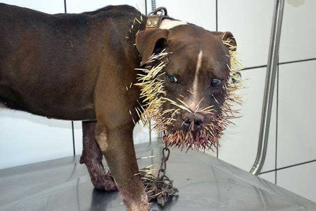 Cão Pit Bull é cravado por mil espinhos após briga com porco