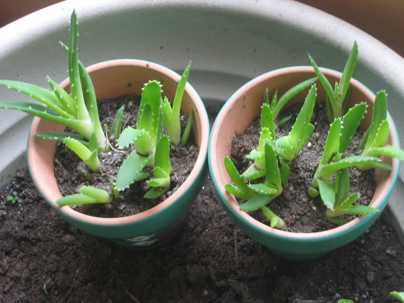 BUY ALOE VERA SEED The Garden of Eaden