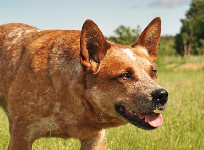 Jak pies reaguje na stres?
