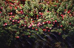 قائمة الفواكه 250px-Cranberry_bog
