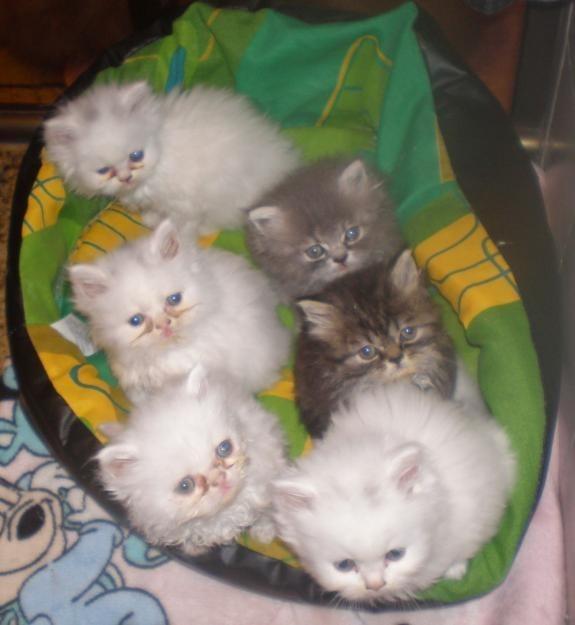 Relação de Gatis - gatil (www.tuta.com/gatinhos)