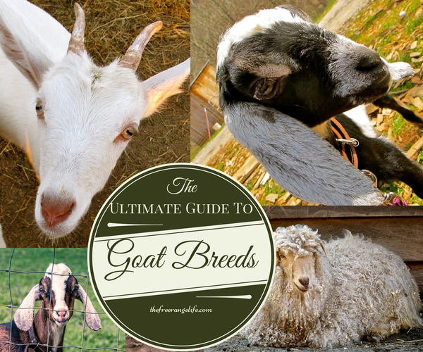 The Ultimate Guide to Goat Breeds, shared by The Free Range Life
