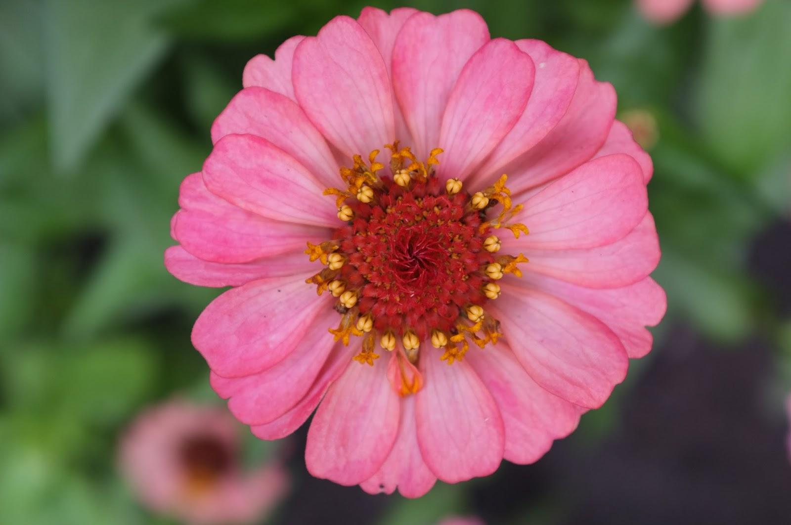 Цветок глоксиния все фото