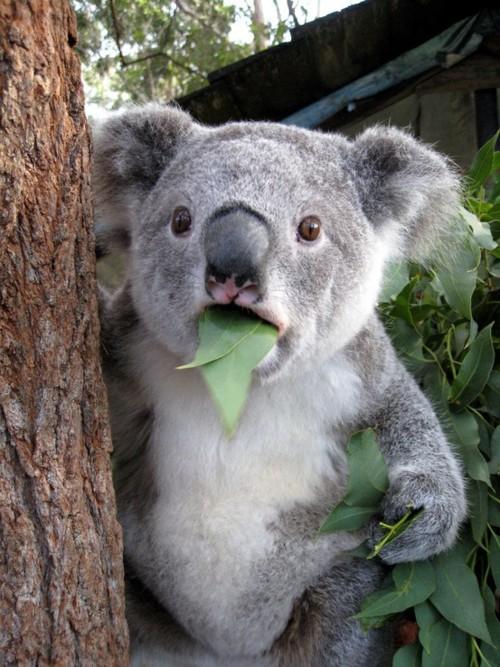 Koala Sorprendido - Imagenes de Animales Graciosos, Videos y Fotos de ...