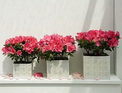 flores y plantas de interior, cuidados azaleas, azaleas de interior