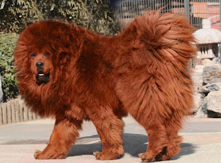 Red Tibetan Mastiff, Most Expensive Dog, Biggest Dog Breed, Tibetan Mastiff Pictures