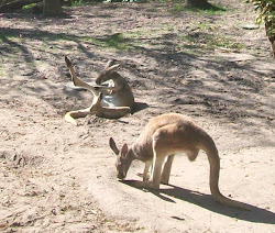 Kangaroos In Animal Kingdom