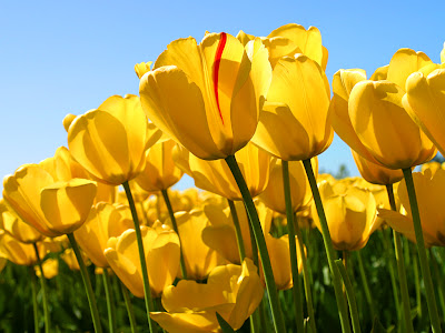 Best Nature Yellow Tulips wallpapers