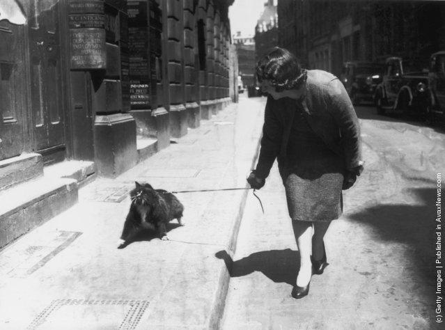 Женщина, прогуливающаяся по городу с кошкой на поводке. (1938 г.)