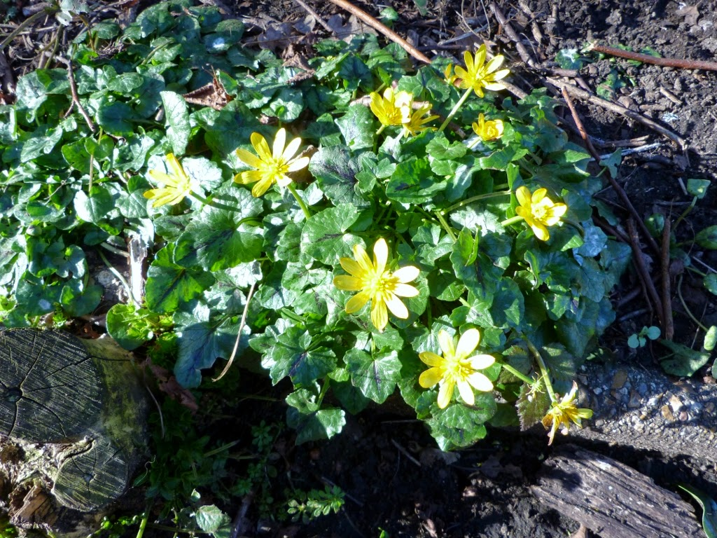 Lesser Celandines in Brockley and Ladywell Cemeteries