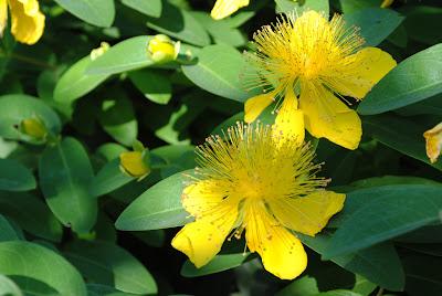 Зверобой чашечковидный (Hypericum calycinum L.)