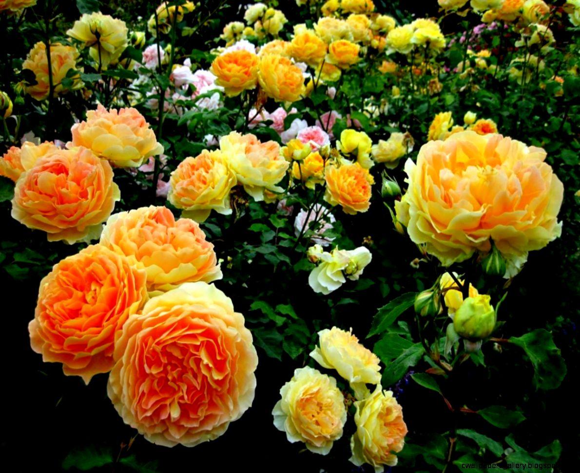 Beautiful Rose Flower Garden