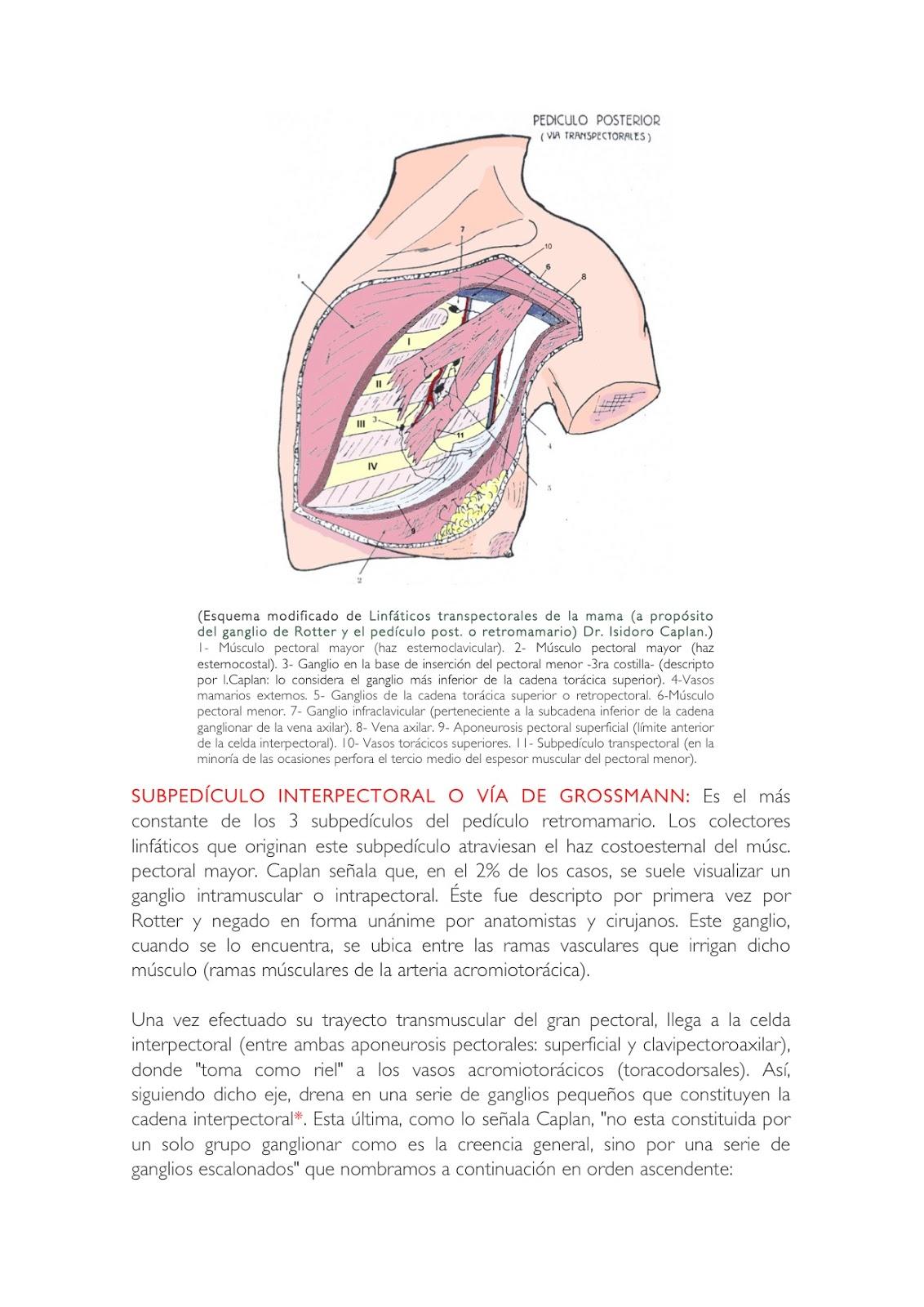 Cuadernos de Anatomía Quirúrgica: Glándula mamaria: Pedículo ...