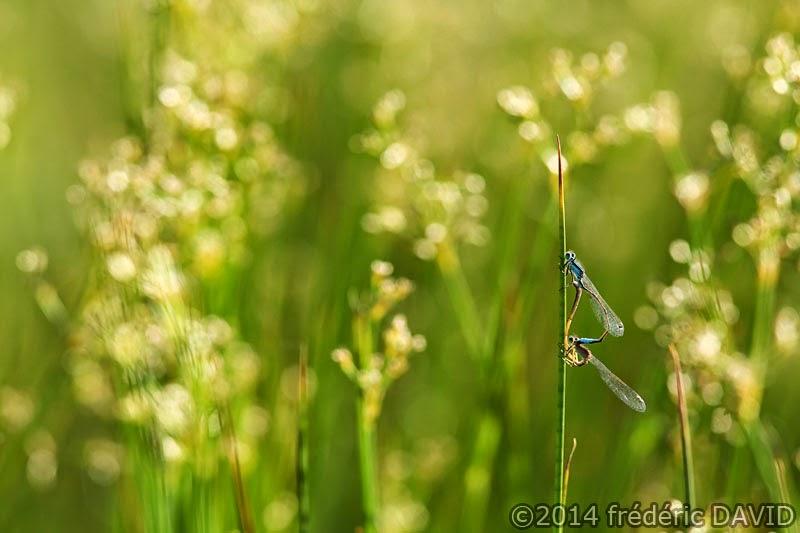 nature macro insecte agrion marais Épisy Seine-et-Marne