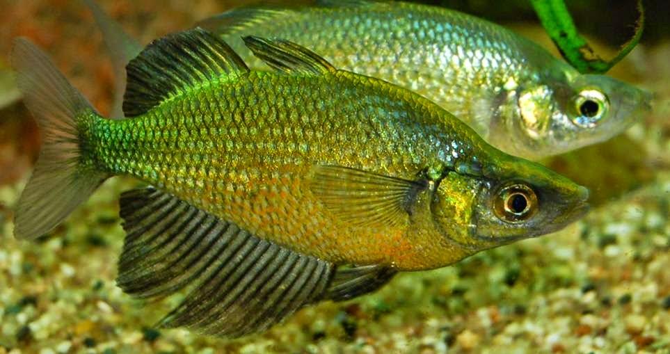 Community aquarium fish aquarium info page 2 for Rainbow fish care