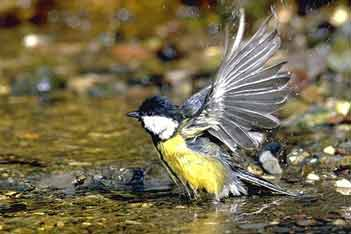 vogelstimmen anhören zaunkönig