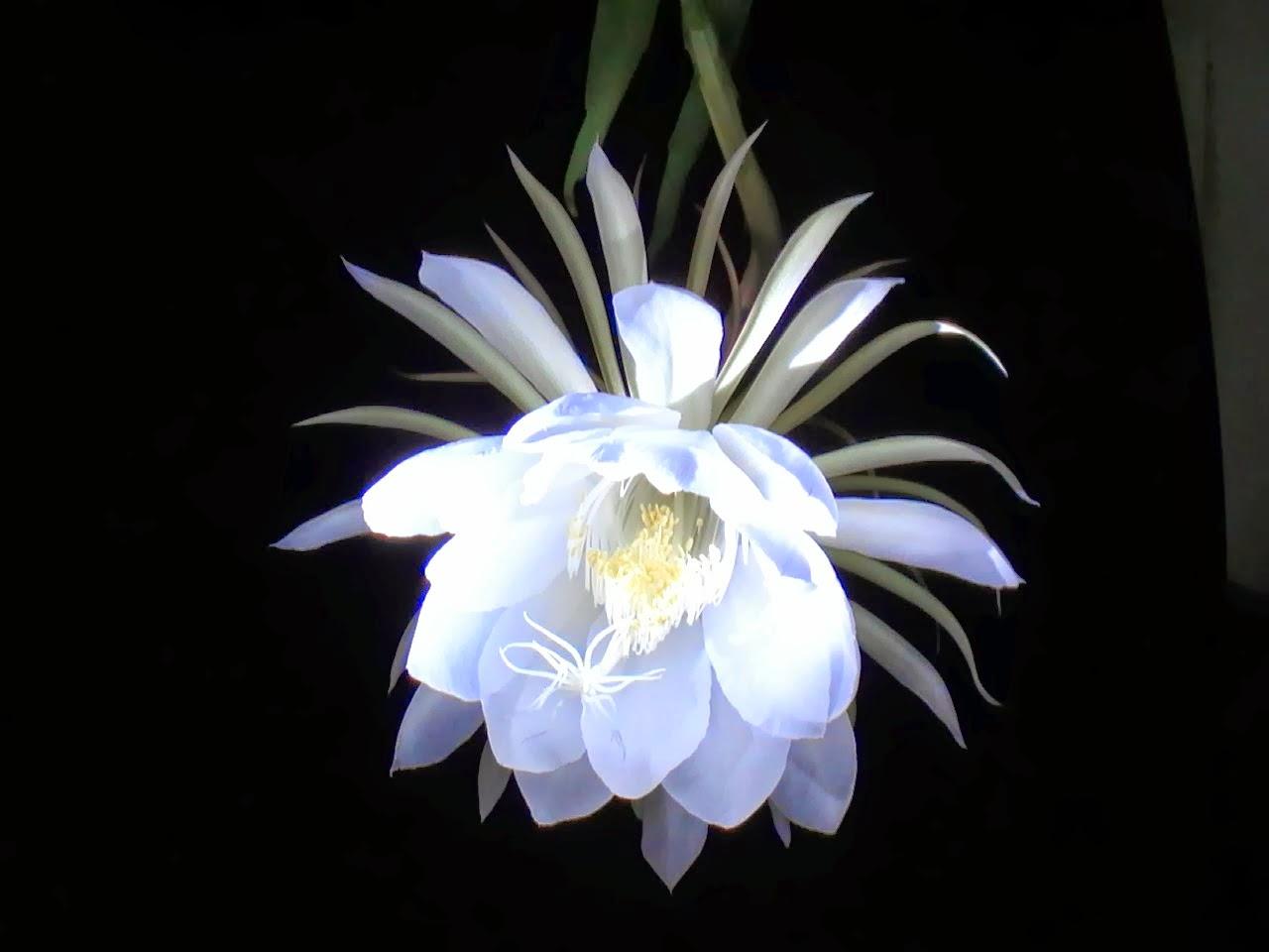 Chữa bệnh sỏi thận bằng hoa quỳnh