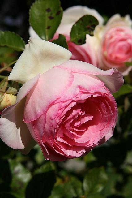 reading treasure from marie antoinette 39 s garden rose. Black Bedroom Furniture Sets. Home Design Ideas