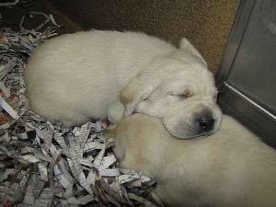 A sleeping yellow Lab puppy