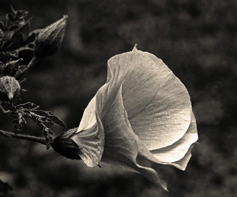 Grande plano de uma flor de Alyogyne e preto e branco